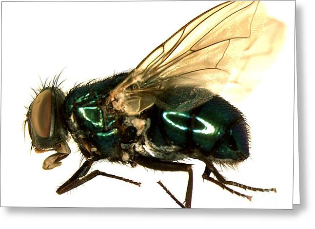 Post-mortem Greeting Cards - Forensic Helper, Common Green Bottle Greeting Card by Science Source