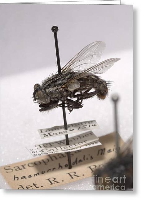 Court Of Law Greeting Cards - Forensic Helpers, Red-tailed Flesh Fly Greeting Card by Science Source