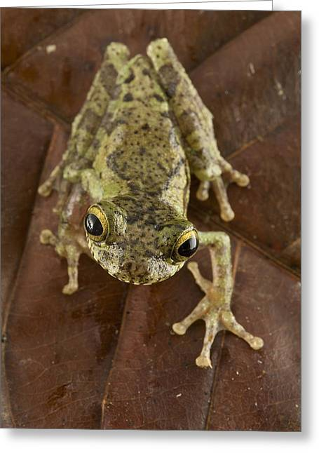 Guyana Greeting Cards - Forest Bromeliad Treefrog Guyana Greeting Card by Piotr Naskrecki