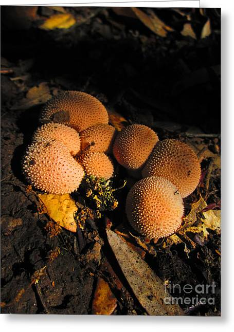 Round Fungi Greeting Cards - Forest Puffballs Greeting Card by Dan Julien