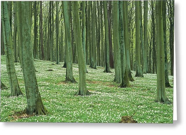 Refuges And Reserves Greeting Cards - Forest Scene, Vorpommersche Greeting Card by Norbert Rosing