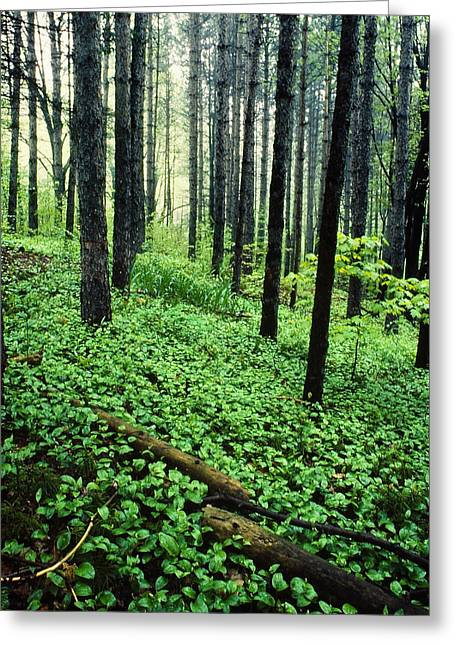 Forest Floor Greeting Cards - Forest Scenic Greeting Card by Tony Ramos