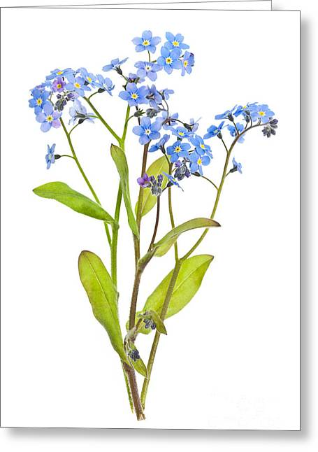Fresh Greeting Cards - Forget-me-not flowers on white Greeting Card by Elena Elisseeva