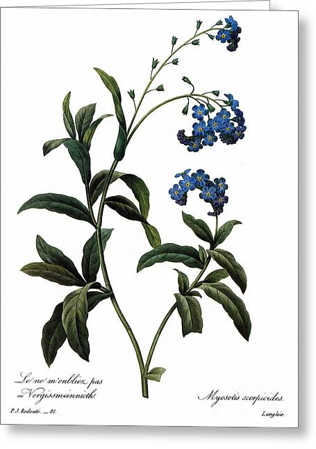 Choix Des Plus Belles Fleurs Greeting Cards - Forget-me-not Greeting Card by Granger
