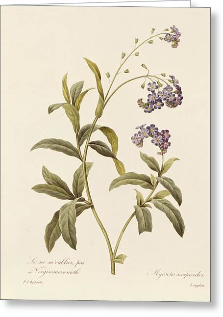 Botanicals Greeting Cards - Forget Me Not Greeting Card by Pierre Joseph Redoute