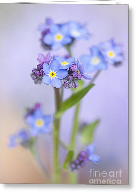 Close Focus Floral Greeting Cards - Forget-me-not spring Greeting Card by Jacky Parker
