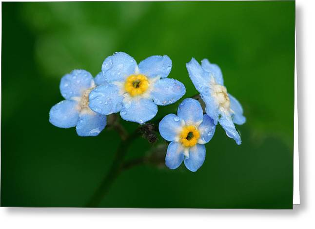 """""""forget Me Not Flowers"""" Greeting Cards - Forget-Me-Not Greeting Card by Yuri Peress"""