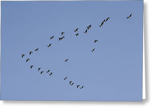 Moonstone Beach Greeting Cards - Forming A Huge V, Canada Geese Genus Greeting Card by Joseph H. Bailey