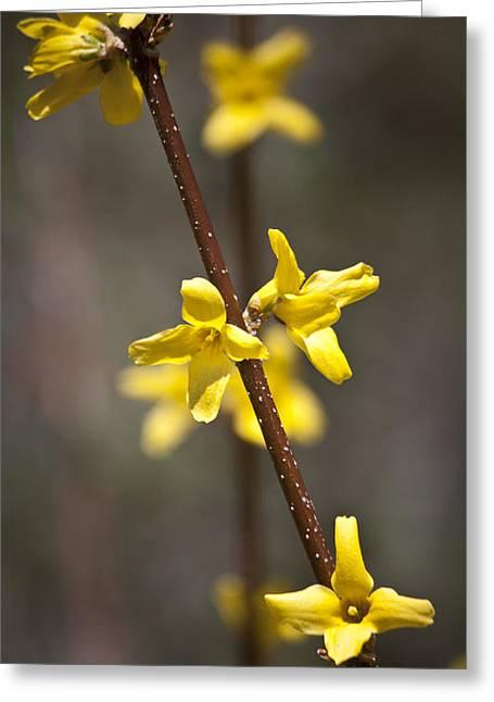Oleaceae Greeting Cards - Forsythia Branch Greeting Card by Teresa Mucha