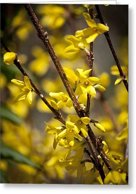 Oleaceae Greeting Cards - Forsythia Greeting Card by Teresa Mucha