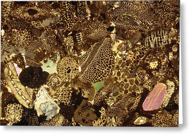 Fossilized Shell Greeting Cards - Fossil Bryozoans Greeting Card by Dirk Wiersma