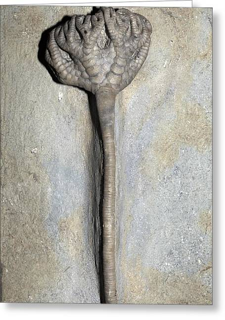 Indiana Lily Greeting Cards - Fossil Crinoid Greeting Card by Dirk Wiersma