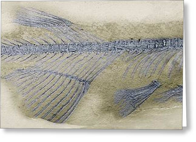 Fossil Fish, Sem Greeting Card by Steve Gschmeissner