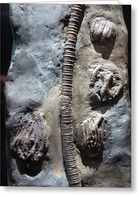National Past Time Greeting Cards - Fossil Remains  Greeting Card by LeeAnn McLaneGoetz McLaneGoetzStudioLLCcom