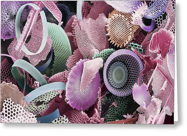 Frustule Photographs Greeting Cards - Fossilised Diatoms, Sem Greeting Card by Steve Gschmeissner