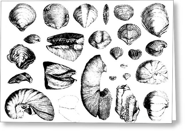 Fossil Art Greeting Cards - Fossilized Shells, 1844 Greeting Card by Science Source