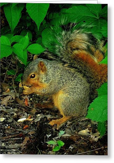 Eastern Fox Squirrel Greeting Cards - Found a Peanut Greeting Card by Beth Akerman