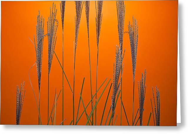 Fountain Grass In Orange Greeting Card by Steve Gadomski