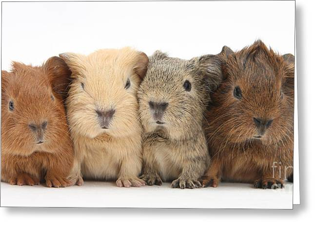 Cavy Greeting Cards - Four Baby Guinea Pigs Greeting Card by Mark Taylor