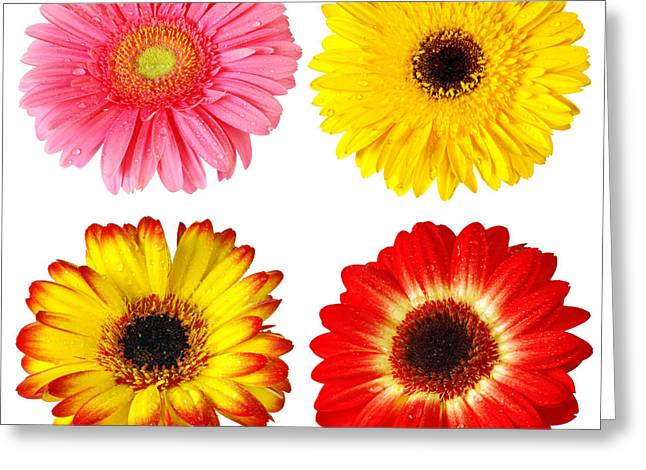 Moist Greeting Cards - Four Gerberas Greeting Card by Carlos Caetano