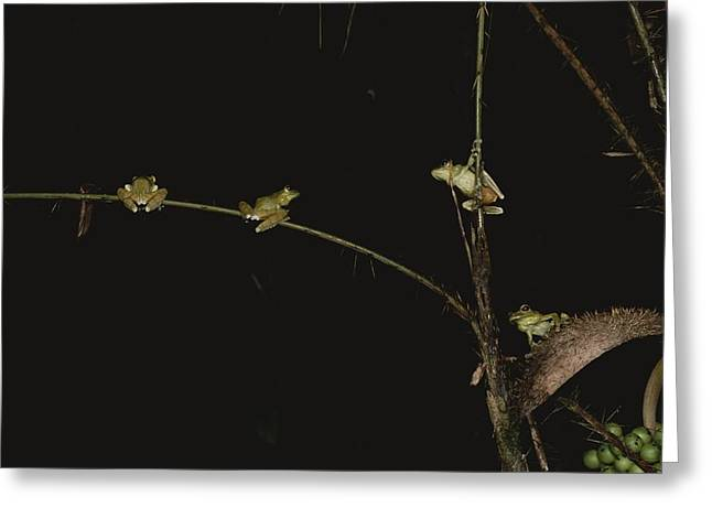 Socialize Greeting Cards - Four green frogs cling Greeting Card by George Grall
