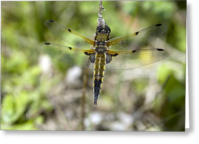 Emergence Greeting Cards - Four-spotted Chaser Dragonfly Greeting Card by Dr Keith Wheeler