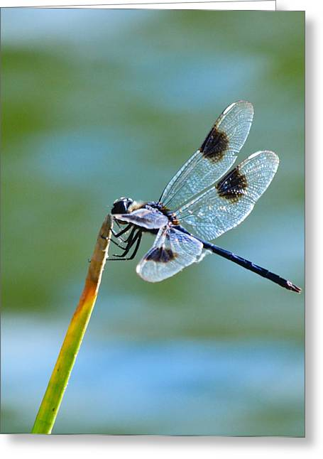 Four Spotted Pennant  Greeting Card by Melanie Moraga