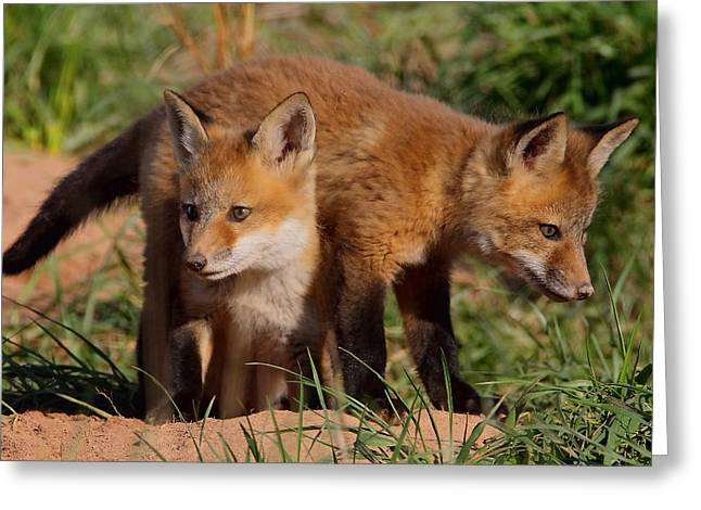 Fox Cubs Playing Greeting Card by William Jobes