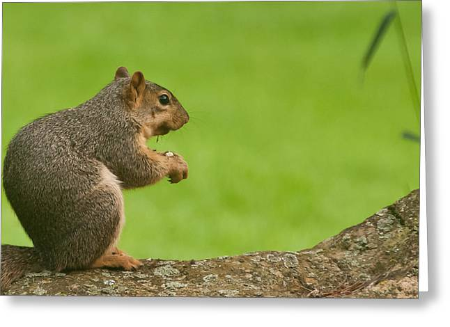 Fox Squirrel Greeting Cards - Fox Squirrel Greeting Card by Jim Albert