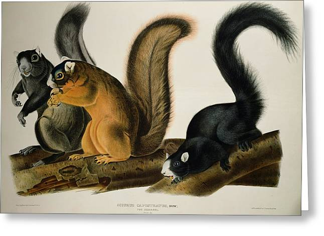 Coloured Greeting Cards - Fox Squirrel Greeting Card by John James Audubon
