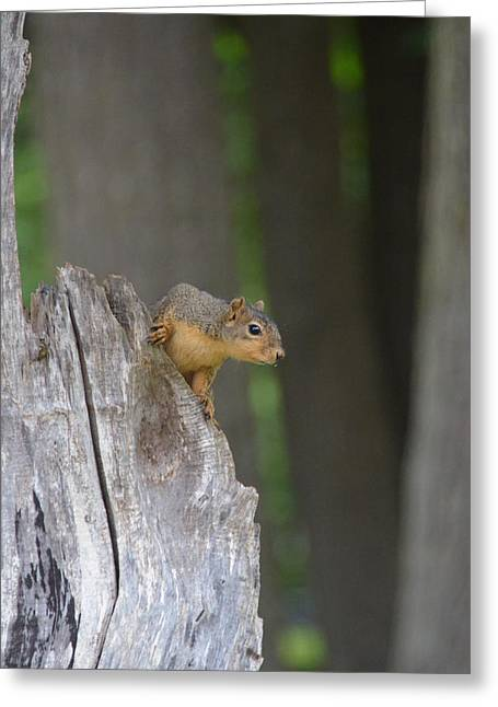 Fox Squirrel Greeting Cards - Fox squirrel look out Greeting Card by Linda Larson