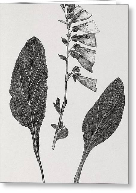 Foxglove, 19th Century Artwork Greeting Card by Middle Temple Library