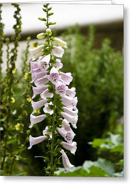 Getty Greeting Cards - Foxglove at the Getty Greeting Card by Teresa Mucha