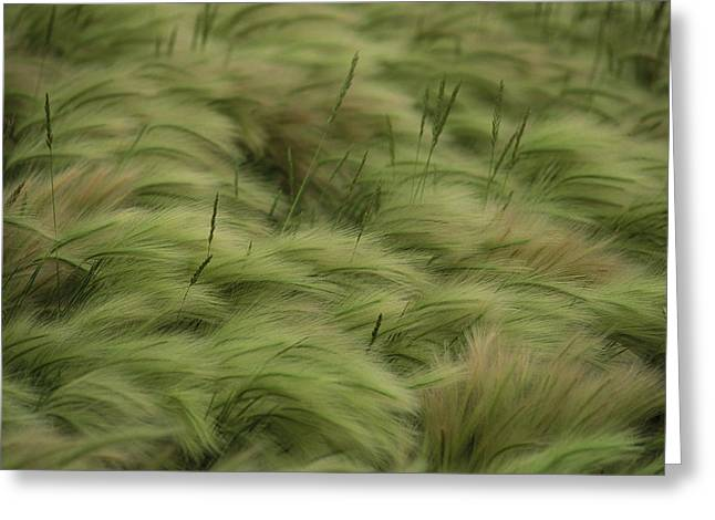 Close Up Buffalo Greeting Cards - Foxtail Barley And Western Wheatgrass Greeting Card by Annie Griffiths