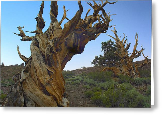 Most Photographs Greeting Cards - Foxtail Pine Tree Ancient Trees Greeting Card by Tim Fitzharris