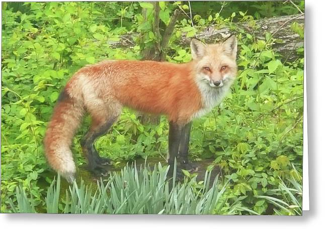 Becky Lodes Greeting Cards - Foxy Greeting Card by Becky Lodes