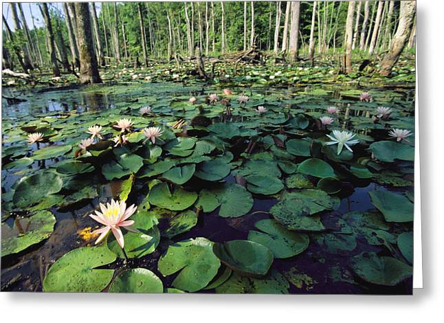 Aquatic Plants Greeting Cards - Fragrant Water Lilies Cover A Virginia Greeting Card by Medford Taylor