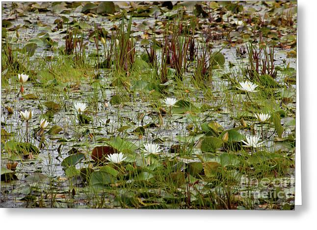Amherst Greeting Cards - Fragrant White Greeting Card by Susan Cole Kelly