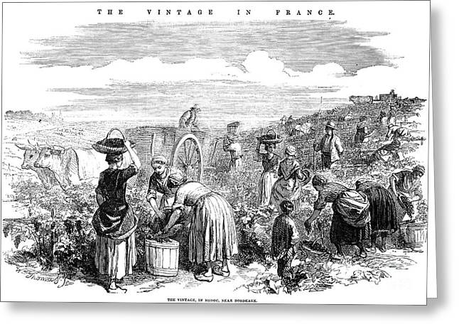 France: Grape Harvest, 1854 Greeting Card by Granger