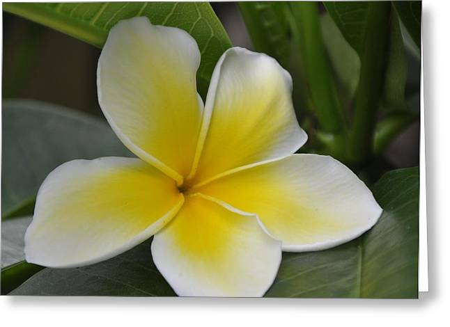 Yellow Flower Scent Greeting Cards - Frangapani Greeting Card by Vijay Sharon Govender