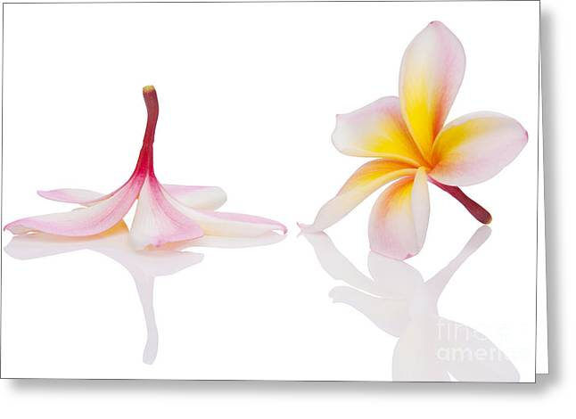 Frangipani Greeting Cards - Frangipani or Leelawadee Greeting Card by Atiketta Sangasaeng