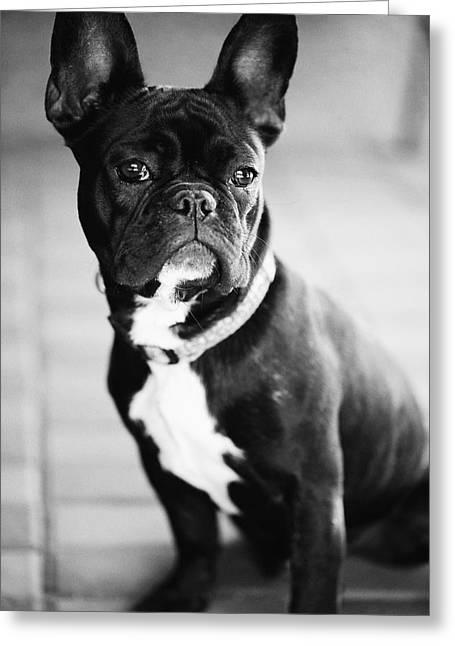 Dog Photographs Greeting Cards - French Bulldog Greeting Card by Falko Follert