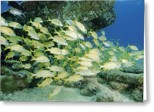 Grunts Greeting Cards - French Grunt Shoal Greeting Card by Alexis Rosenfeld