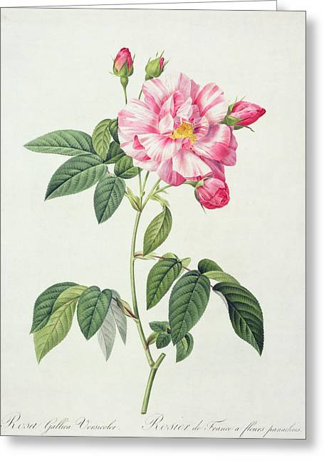 Coloured Flower Greeting Cards - French Rose Greeting Card by Pierre Joseph Redoute
