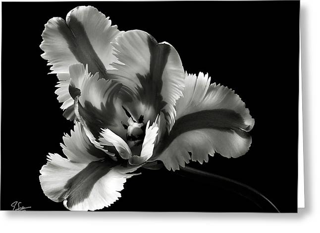 Flower Photos Greeting Cards - French Tulip in Black and White Greeting Card by Endre Balogh