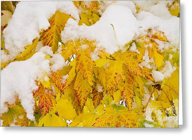 Snow Tree Prints Greeting Cards - Fresh Snow on Colorful Autumn Leaves Greeting Card by James BO  Insogna