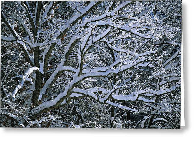 Fresh Snowfall Blankets Tree Branches Greeting Card by Tim Laman