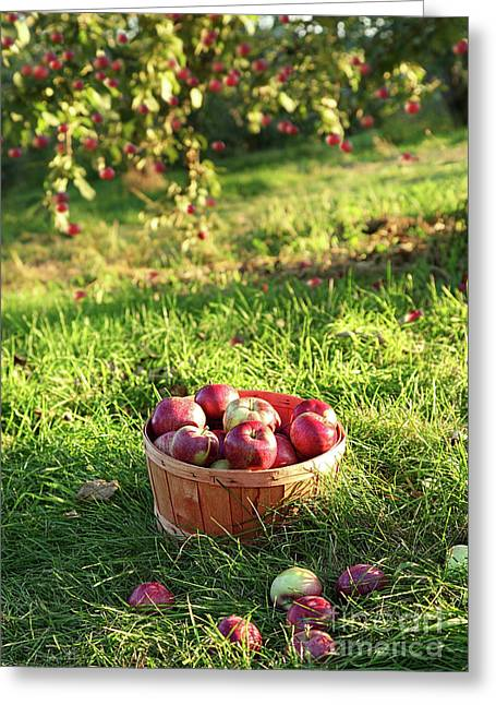 Refreshment Greeting Cards - Freshly picked apples in the orchard  Greeting Card by Sandra Cunningham