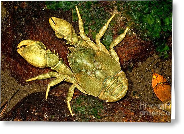 Decapoda Greeting Cards - Freshwater Crab Greeting Card by Danté Fenolio