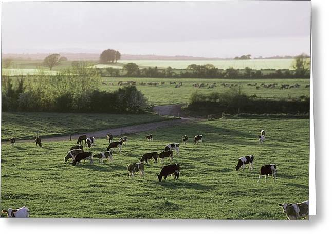 Friesian Bullocks, Ireland Herd Of Greeting Card by The Irish Image Collection